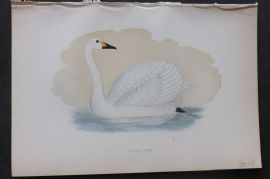 Morris 1870 Antique Bird Print. Bewick's Swan